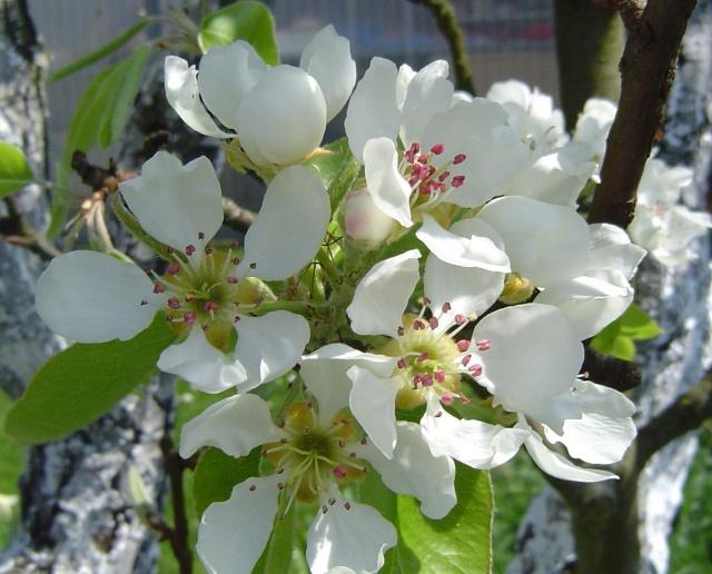 ARBRES EN FLEURS Fleurs10
