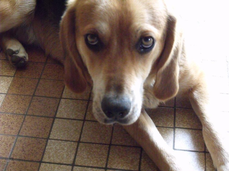 EDOUARD croisé beagle  9 mois adopté par Patrick ( 79 ) 00710