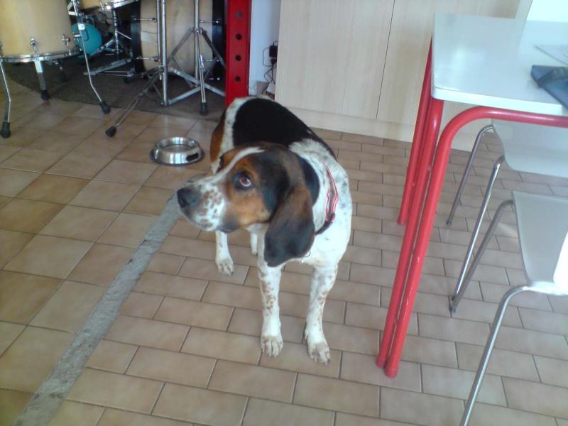 BALTO, croisé beagle/épagneul mâle, 4 ans (79) Balto_10
