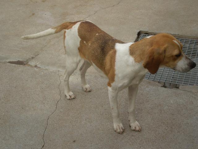 CADIX, anglo français femelle, 3 ans (17) Beagle10