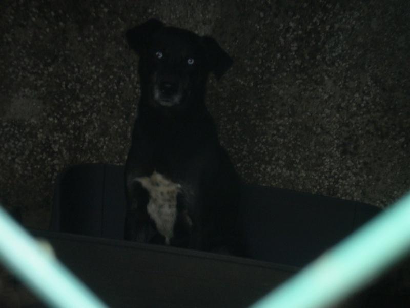 2x labrador2 croisés labrador /husky 3 ans cherche fa pour 2 ou 3 mois ( 49 ) Photo-11