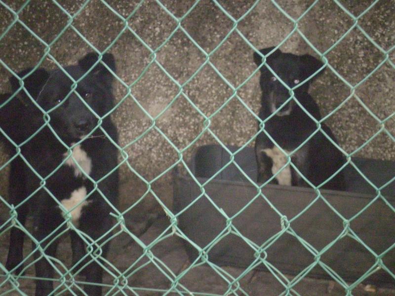 2x labrador2 croisés labrador /husky 3 ans cherche fa pour 2 ou 3 mois ( 49 ) Photo-13