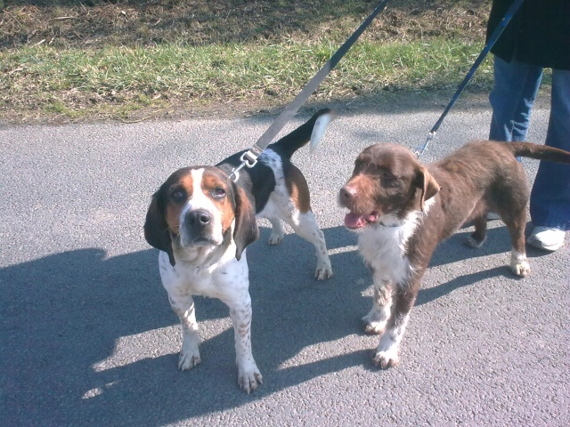 BALTO, croisé beagle/épagneul mâle, 4 ans (79) Photo013