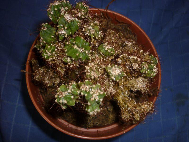 Pauvre cactus ! SOS Cerus10