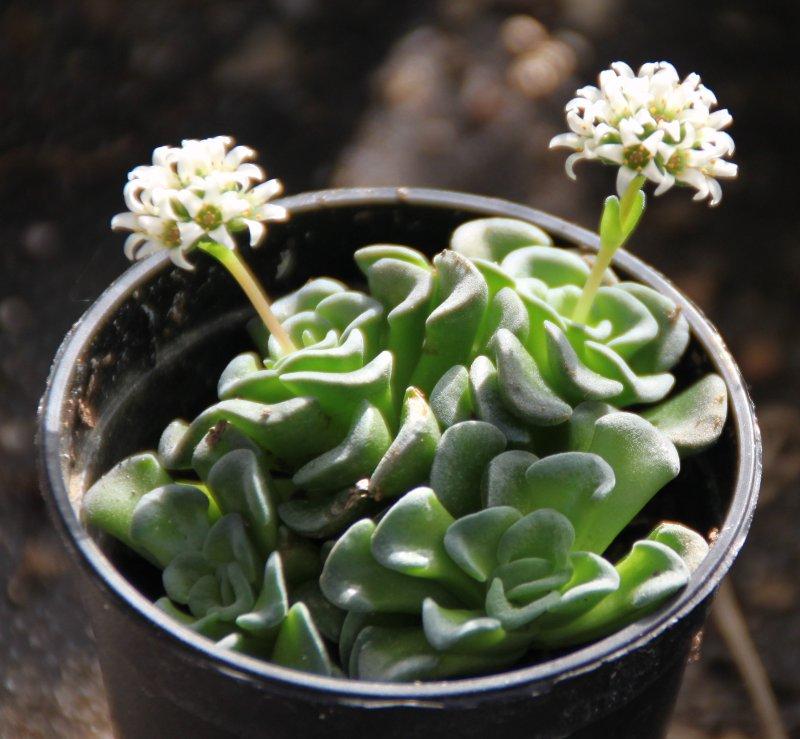 [ crassula 'Celia' ]  mesembryantemopsis x suzanne......   en fleur Crassu16