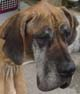 ASSIA (femelle Dogue Allemand de 3 ANS 1/2) - ADOPTEE -