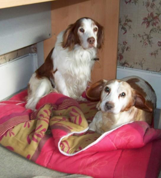 Mes Epagneuls (31 janvier 2010) Boy-bi11