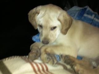Urgent pour une femelle Epagneul Breton et un bébé Labrador Lab-ep11
