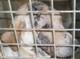 HOOP (femelle Labrador de 8 MOIS) - gale démodécique - en FA pour Un Coeur sur Pattes
