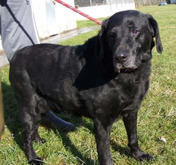 LEO (mâle Labrador noir de 13 ANS) refuge SPA de Dunkerque Leo-pr11