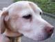 OXYGENE (femelle Labrador de 10 ANS) - ADOPTEE -