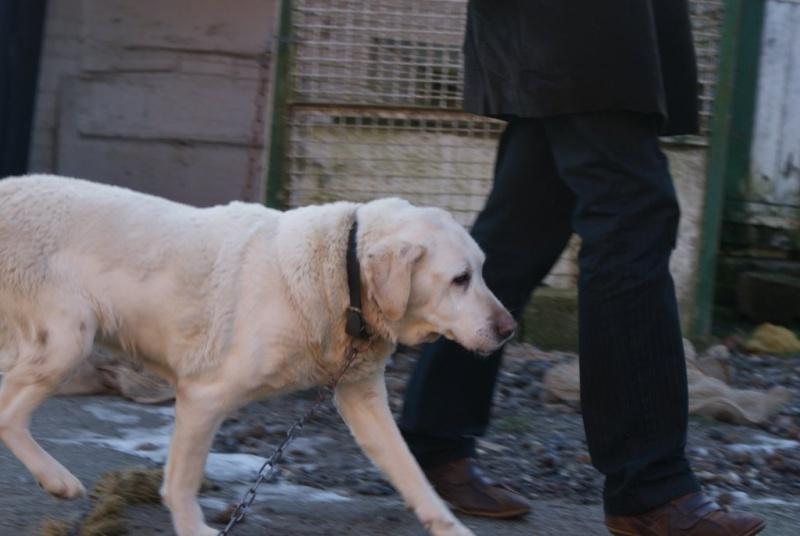 PISTACHE, femelle Labrador 10 ANS - tumeur à la mâchoire Pis-110