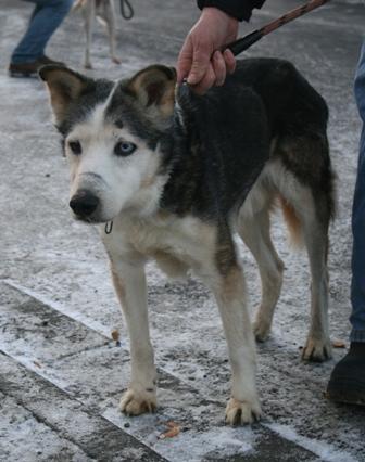 TINOUK (mâle type Husky sibérien âgé de plus de 8 ans) refuge de DOUAI - ADOPTE - Tinouk10