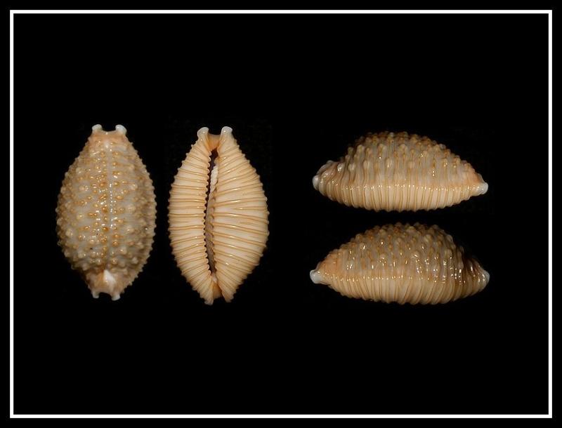 Nucleolaria nucleus nucleus (Linnaeus, 1758) voir Nucleolaria nucleus (Linnaeus, 1758) Forum_14