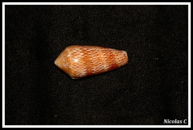 Conus (Pionoconus) magdalenae  Kiener, 1845 voir Conus (P.) floccatus Img_7813