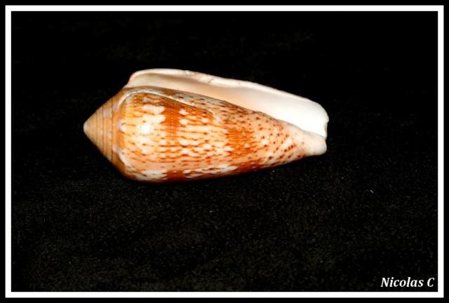 Conus (Pionoconus) magdalenae  Kiener, 1845 voir Conus (P.) floccatus Img_7814