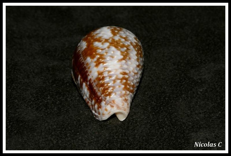 Conus (Pionoconus) catus   Hwass in Bruguière, 1792 Img_8121