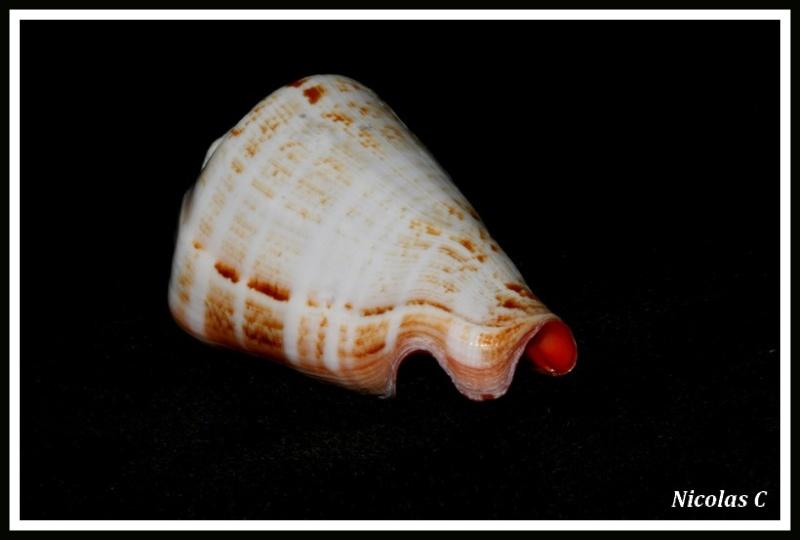 Conomurex luhuanus - (Linnaeus, 1758) Img_8235