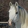 Chevaux de propriétaires [11 chevaux] - Page 3 Ambre_12