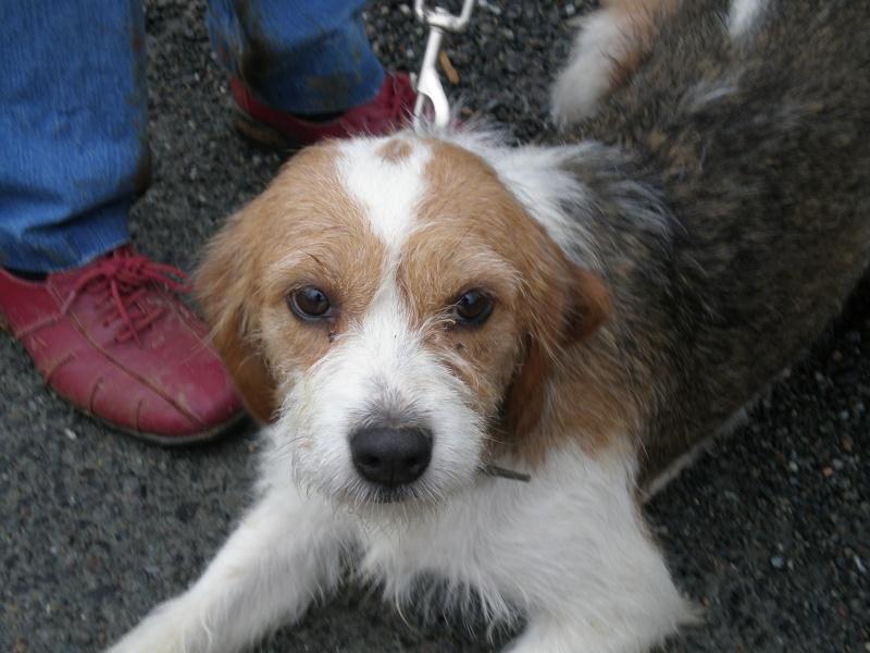 Chloé, croisée beagle x griffon, 18 mois April_13