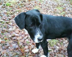 Jason, dogue allemand xlabrador, 1 a 2 ans Dsc00110