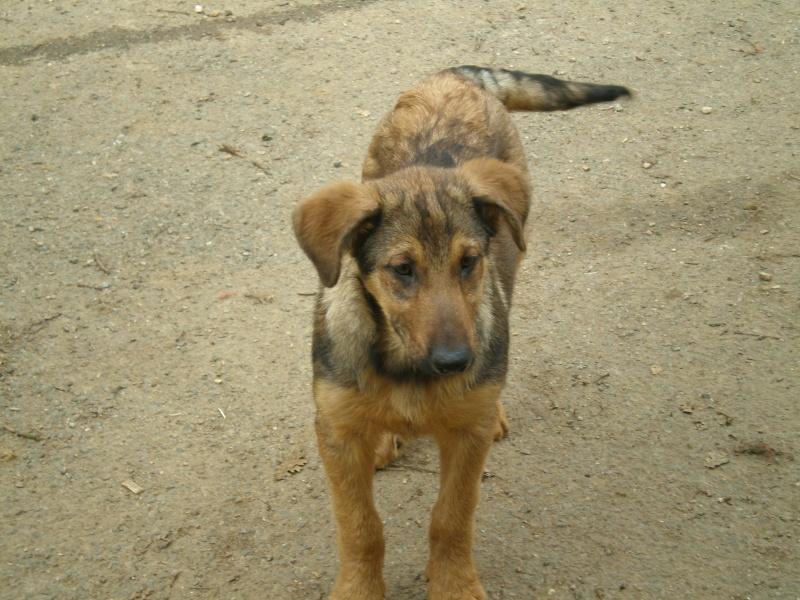 Dalie, BA X beauceron, née en novembre 2008 P2060012