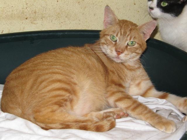 Phantom - tigré roux - né en juillet 2003 *** Img_2421