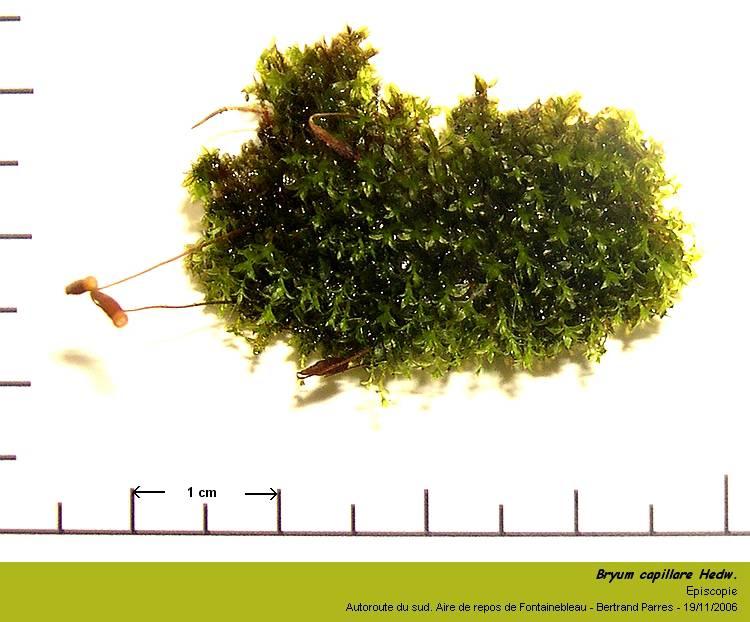 Bryum capillare Hedwig - Mousse acrocarpe dioïque 01_bry10