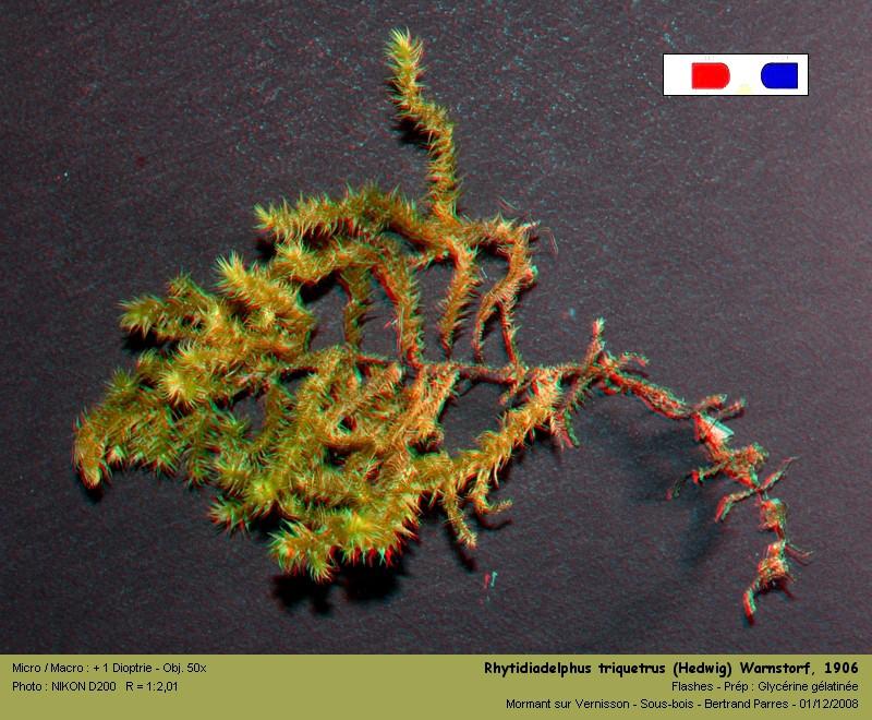 Rhytidiadelphus triquetrus (Hedwig) Warnstorf, 1906 02_rhy10