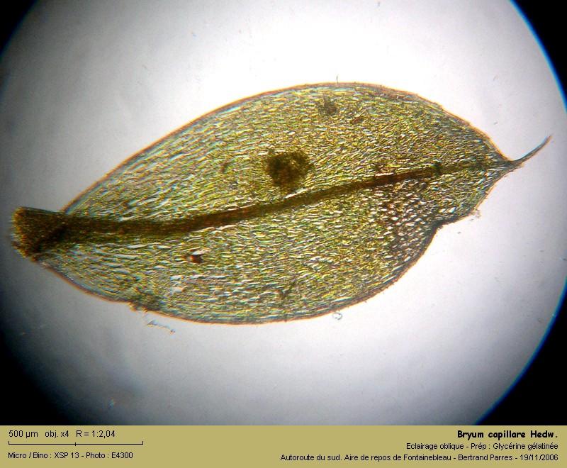 Bryum capillare Hedwig - Mousse acrocarpe dioïque 03_bry10