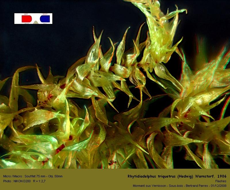 Rhytidiadelphus triquetrus (Hedwig) Warnstorf, 1906 03_rhy10
