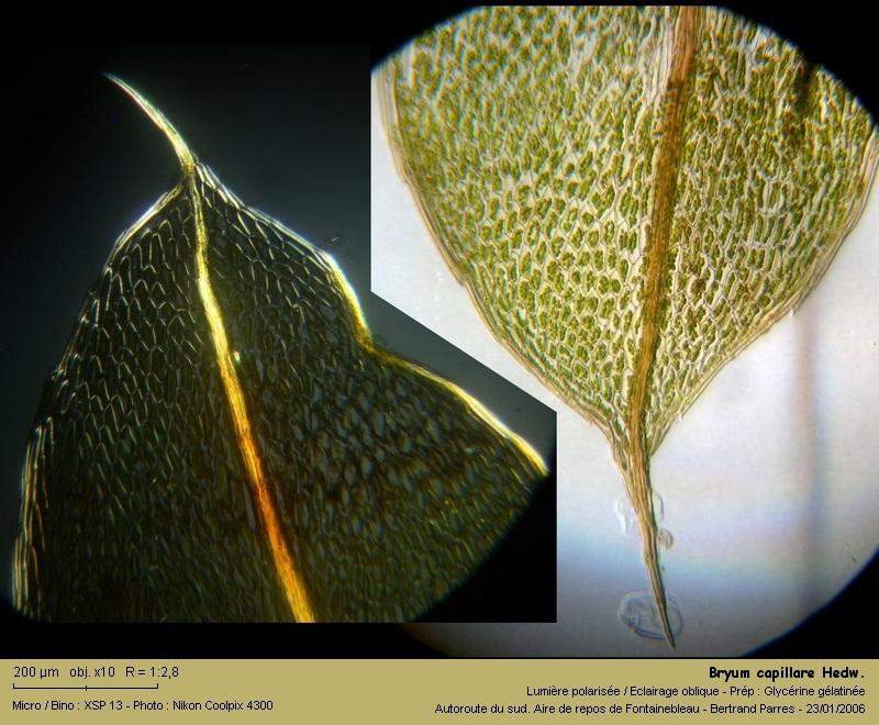 Bryum capillare Hedwig - Mousse acrocarpe dioïque 04_bry10