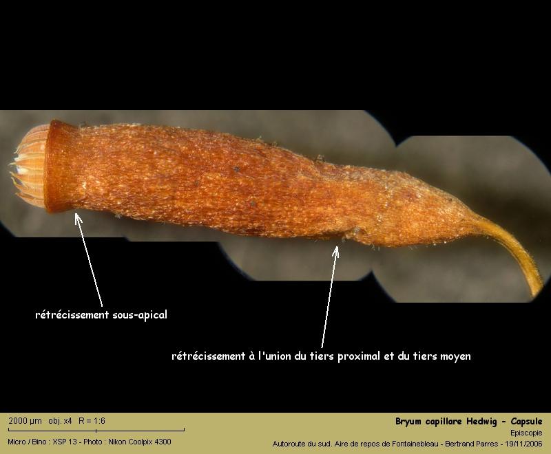 Bryum capillare Hedwig - Mousse acrocarpe dioïque 08_bry10