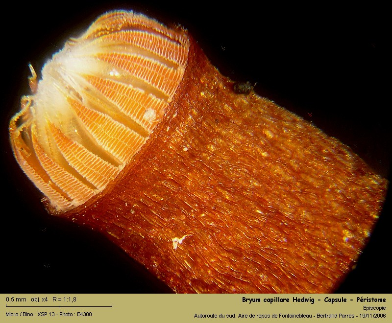 Bryum capillare Hedwig - Mousse acrocarpe dioïque 09_bry10