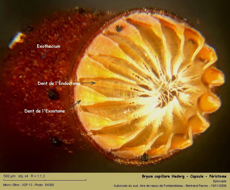 Bryum capillare Hedwig - Mousse acrocarpe dioïque 10_bry10