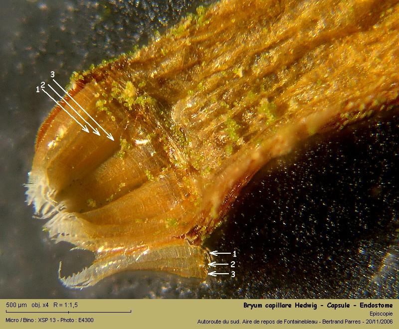 Bryum capillare Hedwig - Mousse acrocarpe dioïque 13_bry10