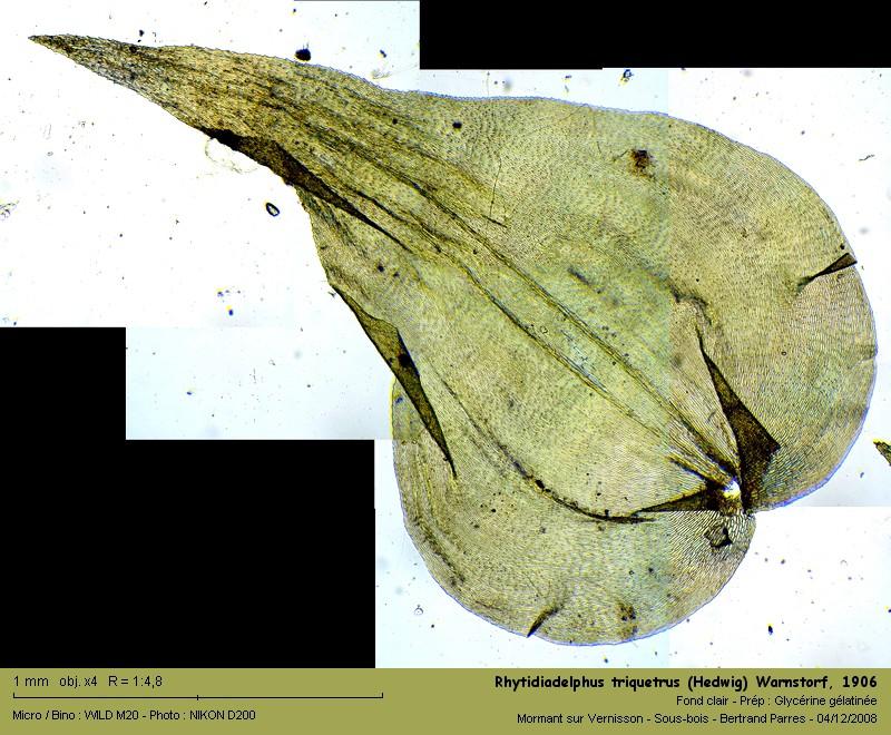 Rhytidiadelphus triquetrus (Hedwig) Warnstorf, 1906 14_rhy10