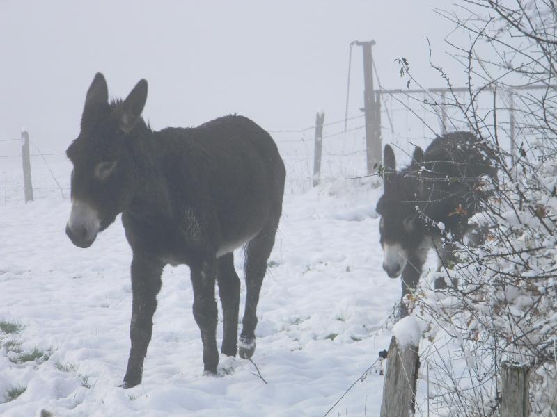 Mes ânes, des ânes de courses ! Sous la neige P1 Dscn0410