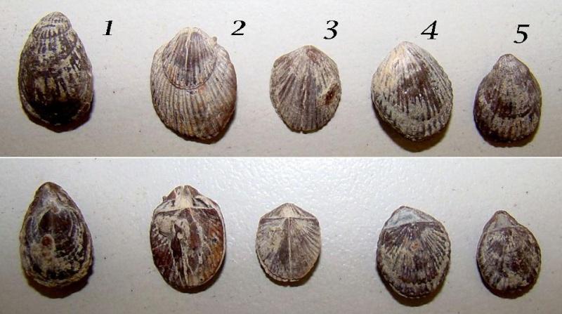 Petits brachios(éocène, bartonien) Braqui11