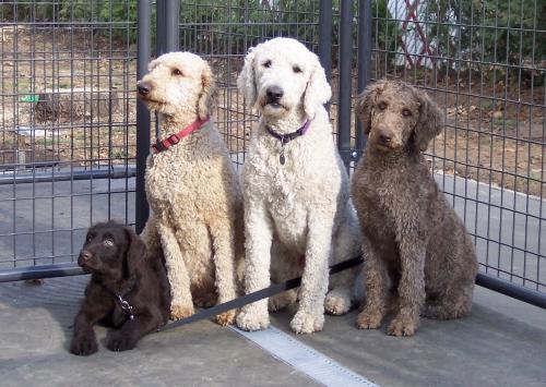 Adoption - Un refuge canadien veut offrir aux Obama un chien Labrad10