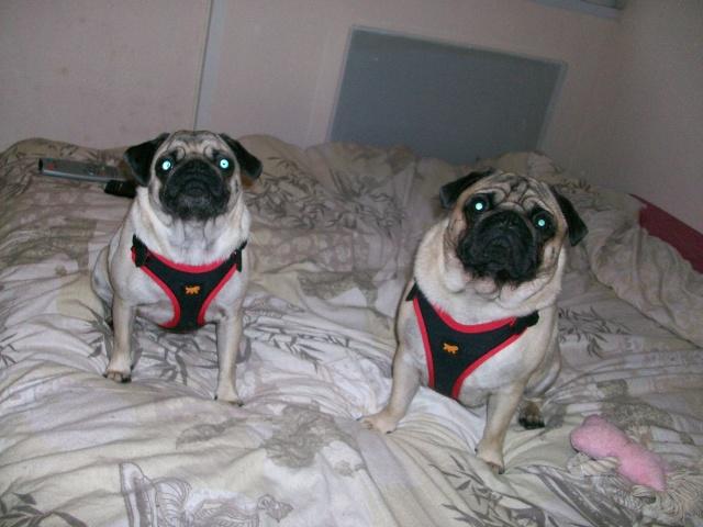 Vos chiens et leurs harnais! Photo  - Page 2 102_0912