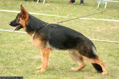 Réactivité chiens et gens (Berger Allemand HS-HA hypersensible & hyperactif) - Page 3 74562210