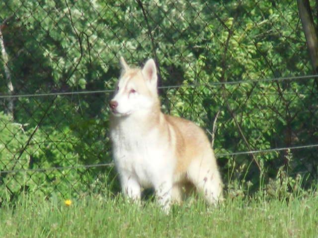 SNIPPER Husky mâle de 6 ans DECEDE - Page 8 Animau18