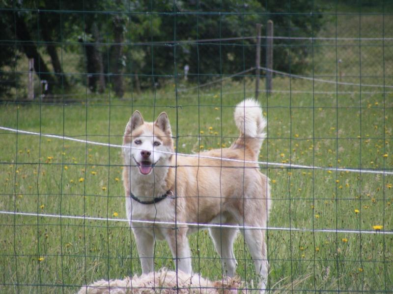 SNIPPER Husky mâle de 6 ans DECEDE - Page 8 Animau21