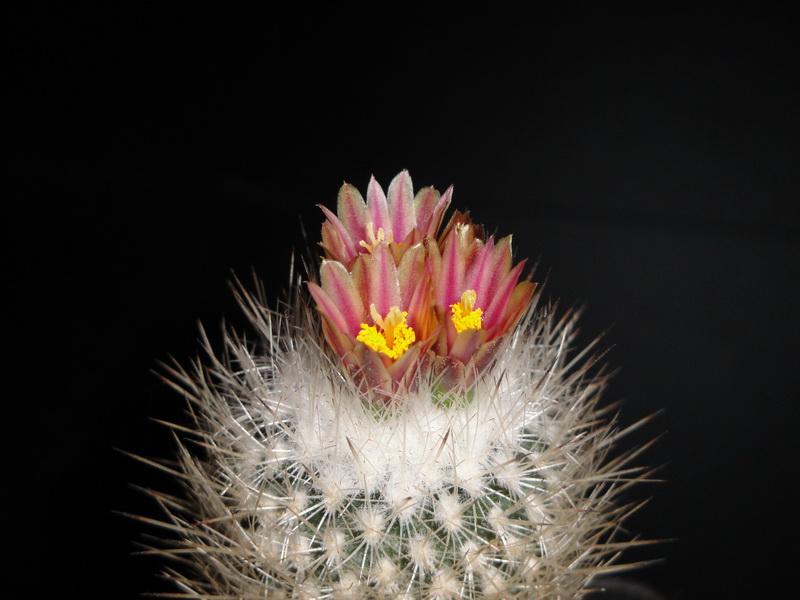 mes petites Floraison Dsc00910