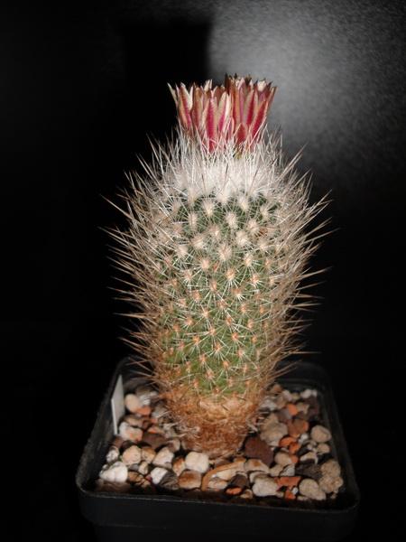 mes petites Floraison Dsc01014