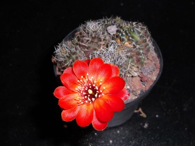 mes petites Floraison Rebuti12