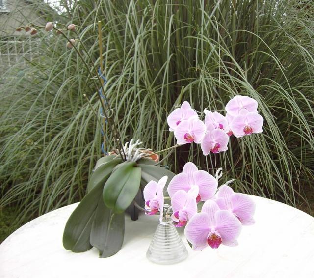 """Un """"rejeton"""" sur une tige d'orchidée Orchid11"""