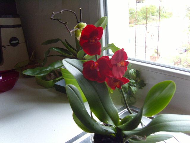 tricherie Orchid24