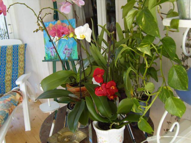 tricherie Orchid26